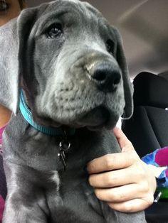 My 8 week old Great Dane puppy!  kellykattale