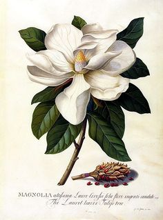 "Georg Dionysius Ehret, Magnolia grandiflora, Bull Bay, Watercolour and gouache on vellum. "" Ehret always favoured the pictorial rather than the diagrammatic style of botanical illustration. Art Floral, Floral Artwork, Floral Wall, Illustration Botanique, Illustration Blume, Nature Illustration, Vintage Botanical Prints, Botanical Drawings, Vintage Botanical Illustration"