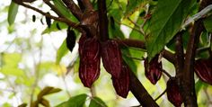 The health benefits of cocoa