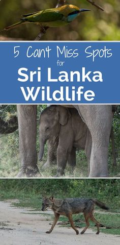 When you travel to Sri Lanka, don't miss these 5 best places for viewing wildlife. You can see elephants, leopards, whales and more of Sri Lanka's nature. The best things to do in Sri Lanka if you love animals.