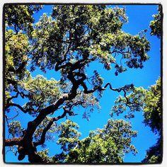 Twisted Oak.  (Doyle Park, Santa Rosa, California)