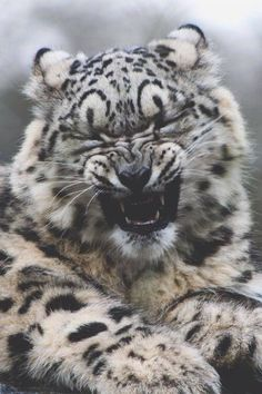 A Crying Clouded Snow Leopard Cub.
