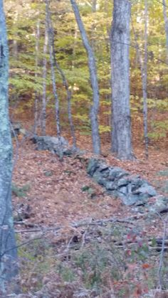 Old stone walls are an amazing feature of the New Hampshire woods and countryside.