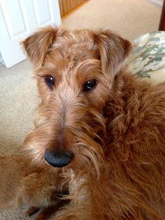 Irish Terrier Jack...just thinkin' up somethin'