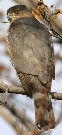 """The Cooper's hawk appears long-necked in flight and has been described by birdwatchers as looking like a """"flying cross"""". Cooper's hawks are monogamous and most mate for life. Pairs will breed once a year and raise one brood per breeding season. Courtship displays include stylized flights with the wings positioned in a deep arc."""