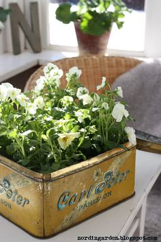 flowers.quenalbertini: White pansies in a vintage tin