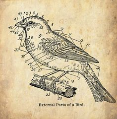 """Love this>> Antique Woodland Print """"External Parts of a Bird"""" Sepia Natural History Illustration - Bird Feathers"""