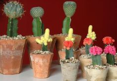 Si eres aficionado al cultivo de cactus no te puedes perder esta completa guía teórico-práctica para poder injertar tus cactus favoritos