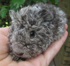Curly guinea pig
