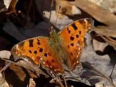 Butterfly - Eastern Comma - an overwintered individual taking in the warm sunshine of spring...