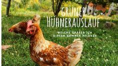 Was pflanze ich in den Hühnerauslauf? Welche Grassamen halten den Auslauf grün, resistent gegen Scharren und schützen ihn vor Schlamm und Matsch?