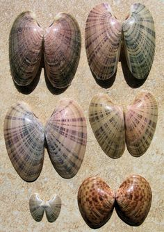 Sunray Venus Clams (Macrocallista nimbosa) and at bottom right Macrocallista maculata, or the calico clam. Shell Game, Shell Collection, Shell Crafts, Clams, Marine Life, Sea Creatures, Under The Sea, Sea Glass, Sea Shells