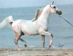 Hypoint photos: CASHVAN BASKIN (*Bask x Varina, by Geym) grey stallion bred by Cashvan Arabian Farms. Virginia Beach, Farms, Horses, Grey, Projects, Animals, Gray, Log Projects, Animaux
