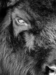 ... bison ...close up. That's one serious eye staring back at me   Love Animals - Koren Reyes Photography inspiration