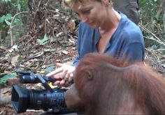 http://FreeAnimalVideo.org Co-Founder Sandra Mohr is sweaty in Borneo, Indonesian Jungle getting footage of beautiful orangutans. One is particularly interested in what she is shooting. The mother Orangutan watches the viewfinder while Sandra shoots.
