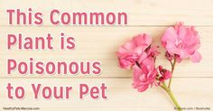 Oleander toxicosis isn't something we often hear about. It is important for pet owners to understand just how deadly the oleander…