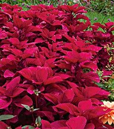 Coleus Redhead would look good with my yellow marigolds