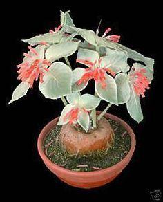 Rare Caudex Plant: Sinningia leucotricha
