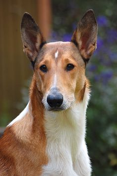 Beautiful one by Sigitius.deviantart.com #smoothcollie