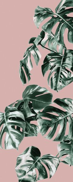 Pink Monstera Mural Pink and Monstera Wallpaper Forest Homes Leaves Wallpaper Iphone, Plant Wallpaper, Tropical Wallpaper, Pastel Wallpaper, Cute Wallpaper Backgrounds, Wallpaper Iphone Cute, Pretty Wallpapers, Aesthetic Iphone Wallpaper, Girl Wallpaper