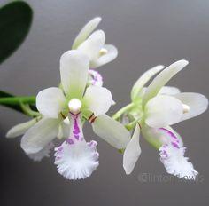 Sedirea japonica (Japan)