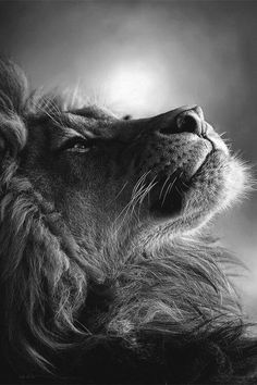 "beautiful-wildlife: "" Lion by kosari "" Beautiful Cats, Animals Beautiful, Majestic Animals, Big Cats, Cats And Kittens, Animals And Pets, Cute Animals, Photo Animaliere, King Photo"
