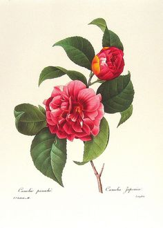 Camelia Japonica, Redoute Art Flowers, Fruits