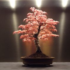 Acer palmatum 'Beni chidori' Bonsai - At the Dakota Apartment of Agent Pendergast.
