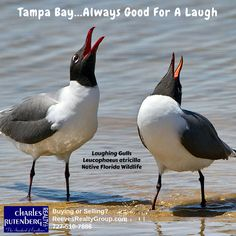 Laughing Gulls native wildlife on the Florida Suncoast at Tampa Bay.