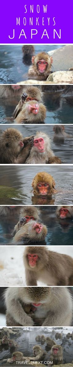 Snow monkeys Japan. There is white magic in the air and it is cold.