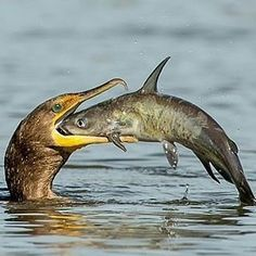 . Photography by @ (Jerry am Ende). This cormorant flipped, doused and maneuvered this huge catfish for several minutes until he could swallow it head first. #cormorant #catfish #fish