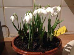 Galanthus florepeno