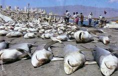 Shark fin harvest! How could anybody do this... :(