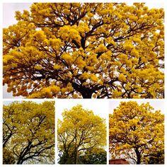 Collage de Lapachos amarillos. Asunción
