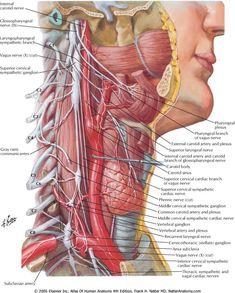 Human Throat Anatomy Anatomy Of The Throat Glands Neck Anatomy In Human Body Human Throat Gross Anatomy, Human Body Anatomy, Human Anatomy And Physiology, Muscle Anatomy, The Human Body, Anatomy Of The Neck, Throat Anatomy, Craniosacral Therapy, Medical Anatomy