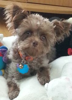 Poodle/Chihuahua mix puppies. http://www.adoptapet.com/pet ...