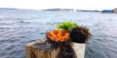 Sea Urchins Facts an