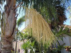 Se você procura uma bela espécie de palmeira para cultivar no seu jardim, a Syagrus romanzoffiana pertencente a família botânica Arecac...