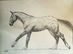 Title: Appaloosa Charge sketch  Size: 8x10  My sketches are simple representations of horses and their beautiful spirits. Often the most simple of sketches can reveal the most energy and beauty. All of my graphite sketches are created using PrismColor pencils on Strathmore paper. Once complete the sketches are preserved with a pastel/graphite fixative. This ensures that when framed it will not smudge with careful handling. The colors of your sketch, if protected under glass and away from UV…