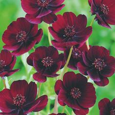 Chocolate Cosmos is a tender Mexican perennial which is now a fashionable late summer highlight in warm borders, as much for its warm and comforting scent of vanilla and hot chocolate as for the striking dusky brownish-red blooms. As with most cosmos varieties, the blooms resemble small single dahlias, and its culture is similar too...