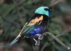 saíra de cabeça azul_tangara cyanicollis Brazilian Birds