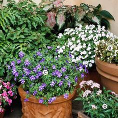 Container Garden Recipes for Shade A. Impatiens 'Accent Bright Eyed': 1 B. Wax begonia (Begonia 'Senator White'): 1 C. Browallia speciosa 'Blue Bells': 3 D. Pentas lanceolata 'New Look Pink': 1 Container Plants, Container Gardening, Gardening Tips, Flower Containers, Organic Gardening, Blue Plants, Shade Plants, Potted Plants, Porch Plants