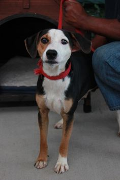 Jonas - URGENT - CHRISTIAN COUNTY ANIMAL SHELTER in Hopkinsville, Kentucky - ADOPT OR FOSTER - 7 MONTH OLD Male Beagle Mix