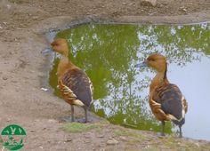 Yaguasa bicolor en el parque zoológico ornitológico de Avifauna Lugo