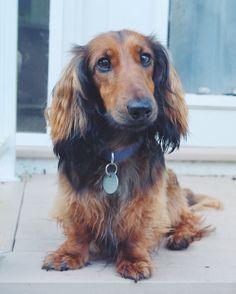 Cutest dachshund ever!