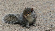 Baby Squirrel | Juvenile Grey Squirrel - Swift Fox Steam Co