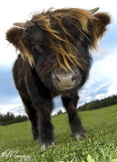 a bonnie wee highland coo!