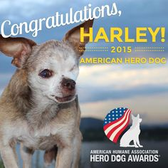CONGRATULATIONS HARLEY!!!! The American Humane Association 2015 AMERICAN HERO DOG!!! We are SO proud of you, Harley!!! #herodogawards Follow Harley's continued adventures in Hollywood by joining his Facebook event page: https://www.facebook.com/events/1660977054114522/