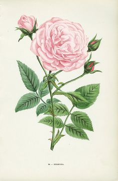 "Hermosa Rose. Hippolyte Jamain was a French rose hybridizer who introduced many new species of roses in the 19th century. He published a selection of his most beautiful roses along with other enduring favourites in a wonderful and now scarce work entitled ""Les Roses"", dedicated to the Duchess of Cambridge. Antique botanical rose illustration."