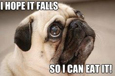 Wistful Pug Watching You Eat Lunch - Pug Meme, funny cute pugs